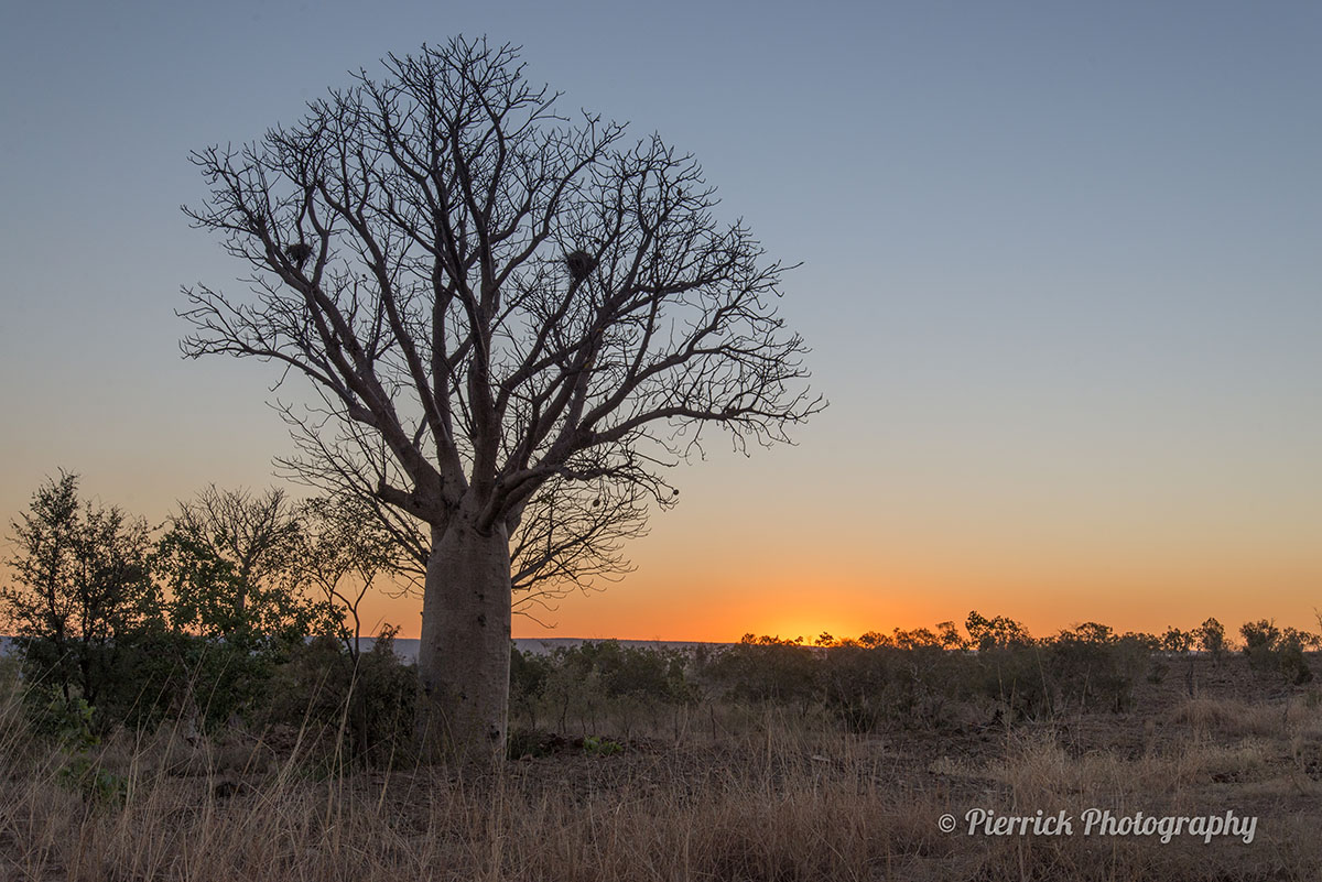 Baobab sur la Gibb river road en Australie
