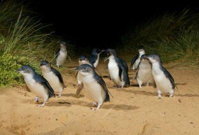 Phillipe island - Parade des pingouins