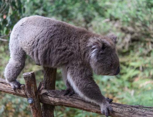 Phillip island – L'île aux pingouins et aux koalas