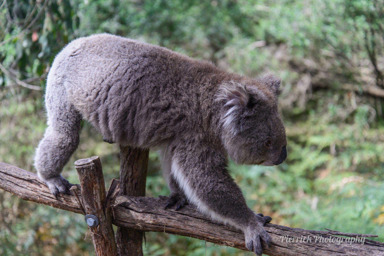 Phillip island - Koala Conservation Center