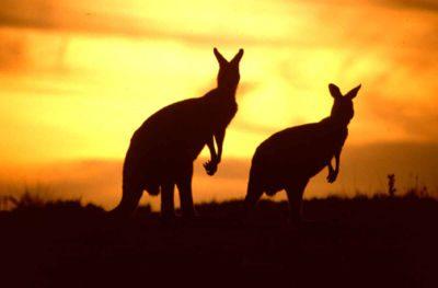 Voyager en Australie - Kangourou
