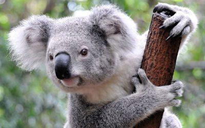Voyager en Australie - Koala