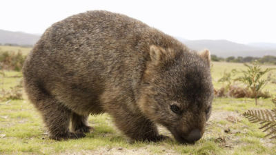 Wilsons Promontory - Wombat