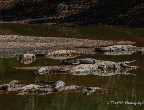 À la rencontre des crocodiles de Windjana Gorge