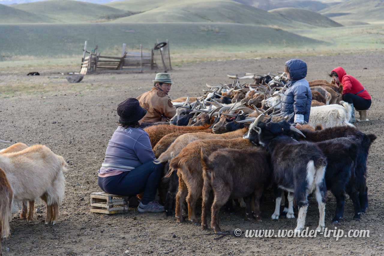 Traite des chèvres en Mongolie