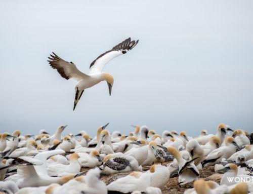 Cape Kidnappers : À la rencontre d'une colonie de fous austraux