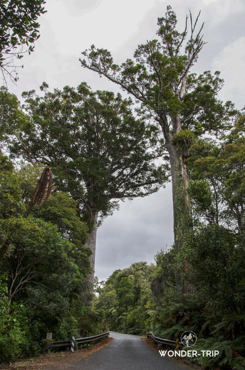 Waipoua forest, Darby et Joan kauris, Kauri coast, Northland, Nouvelle-Zelande